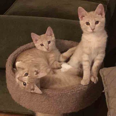 three buff tabby kittens, one of which is Basepaws cat Charlotte