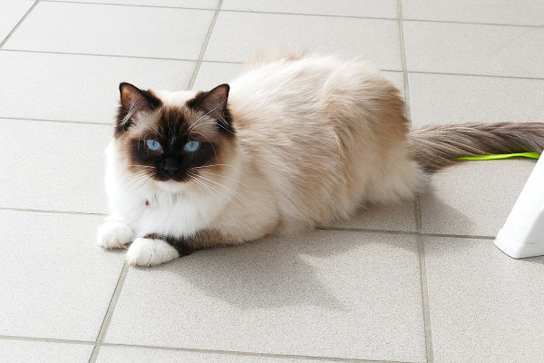 Ragdoll color-pointed cat with blue eyes laying on white tiles