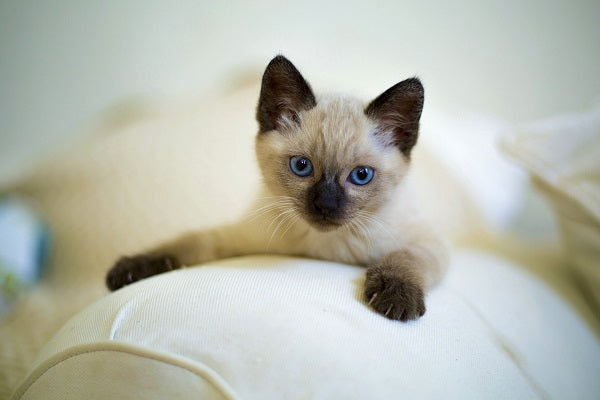 A color-point young Siamese cat with blue eyes laying on the back of the sofa and looking at the cam