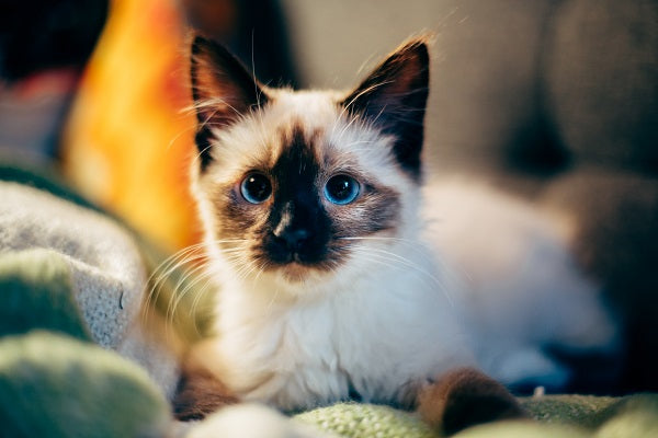Cat coat genetics: A Siamese colorpointed kitten