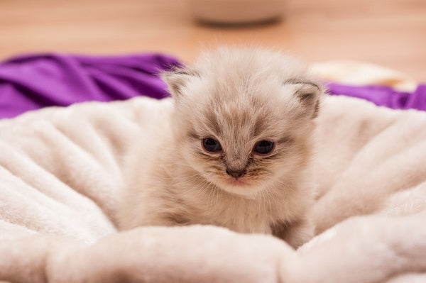 A cute young cream-colored Persian kitten sitting on a beige cushion
