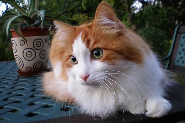 an orange tabby and white turkish angora cat laying in the garden