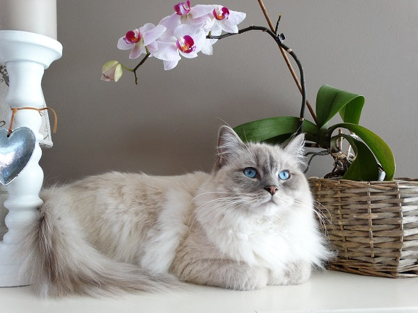 beautiful colorpointed siamese cat with blue eyes laying next to an orchid plant