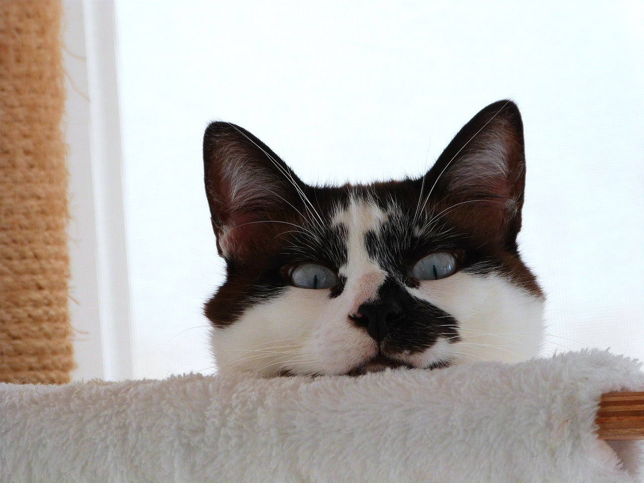 blood groups in cats: Cute black and white cat with blue eyes