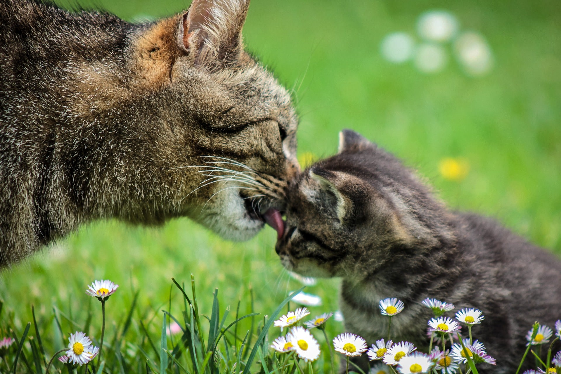 Mama cat cleaning her kitten in grass