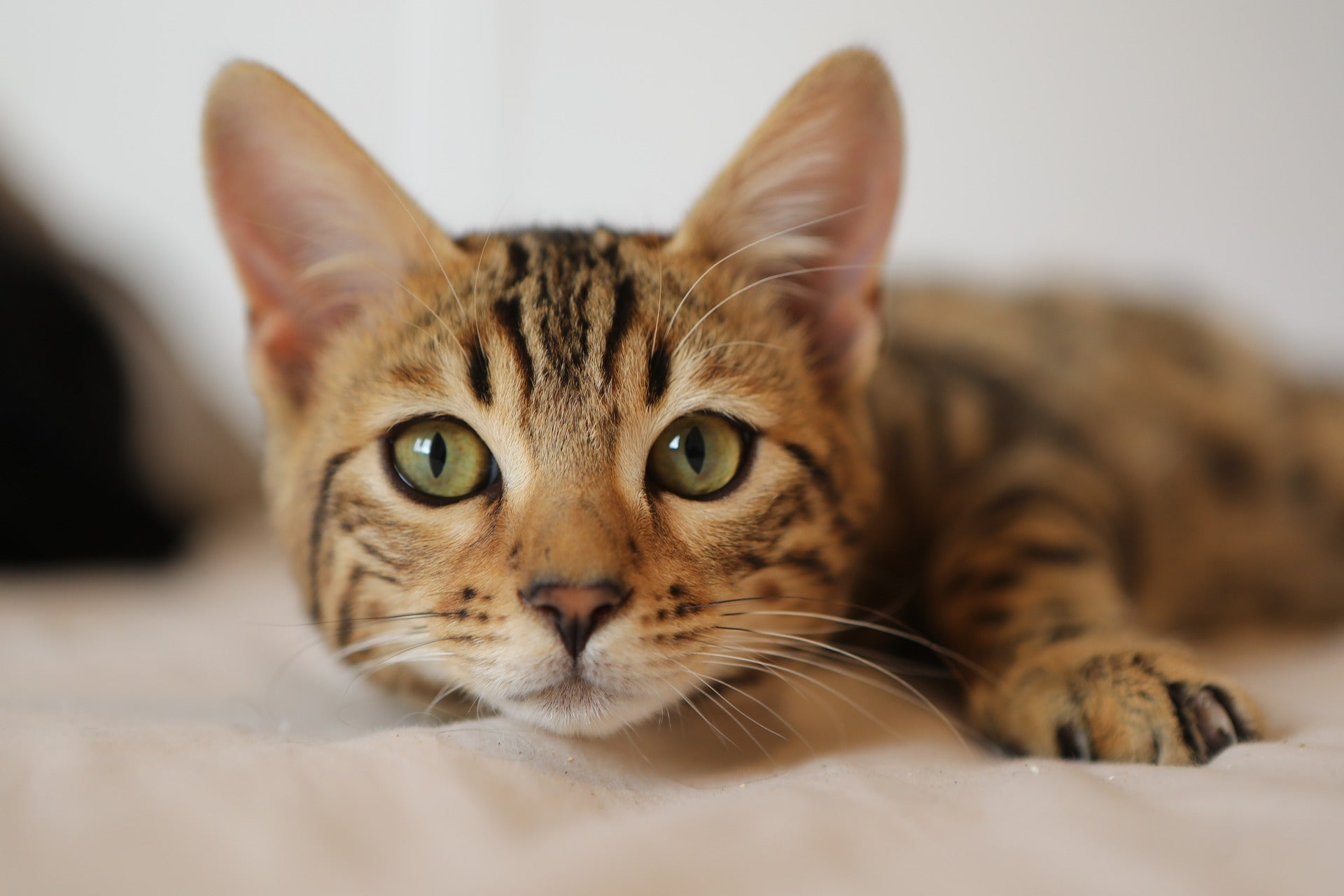 beautiful bengal cat with green eyes