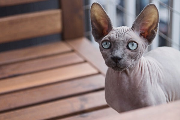 Sphynx is one of the most vocal cat breeds