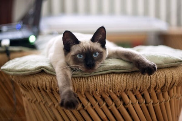 a siamese cat laying on a wooden chair