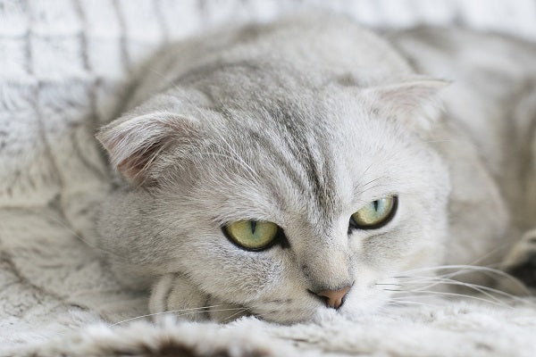 Light gray cat with light green eyes