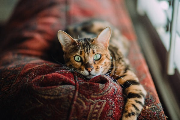 bengal cat with green eyes laying on a red sofa