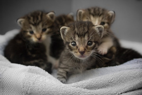 A kindle of young brown tabby kittens in a towel