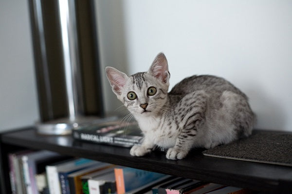 a gray egyptian mau cat sitting on the black bookshelf looking scared