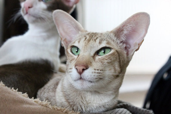 tabby oriental shorthair with big ears and green eyes