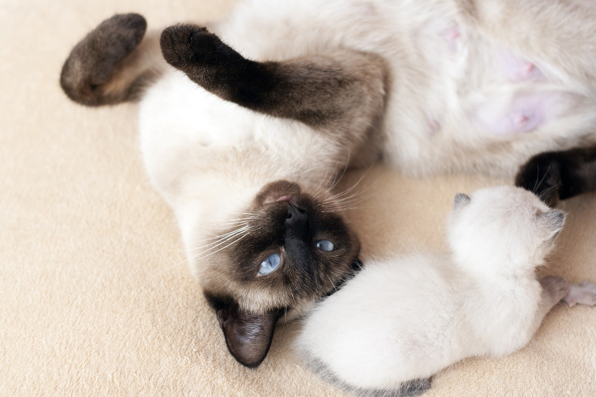 Siamese mom cat laying with her Siamese kitten