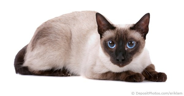 siamese cat with blue eyes color pointed
