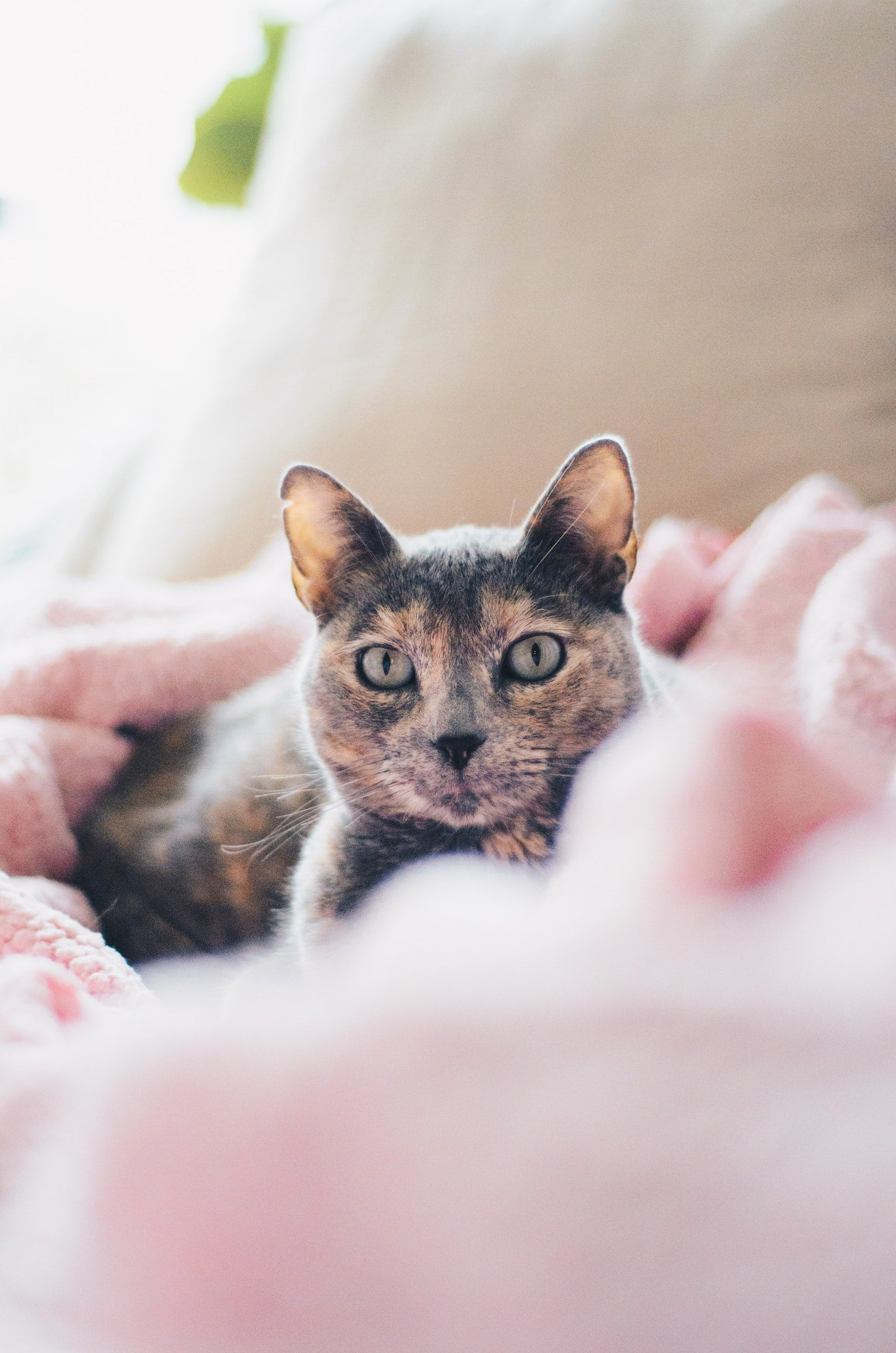 tortoiseshell cat in a pink blanket