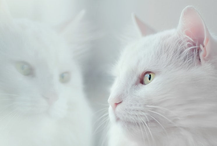 Cat coat genetics: White cat with yellow eyes looking through the window
