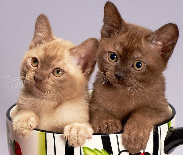 Burmese Kittens Sitting in a Mug