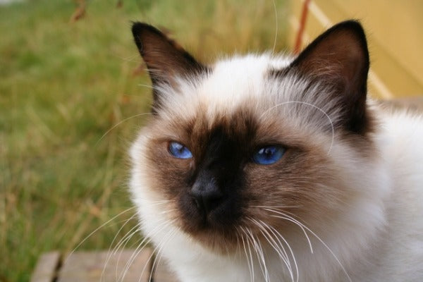 The Birman cat