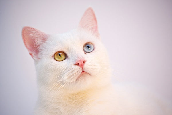 white cat with heterochromia - yellow and blue eye