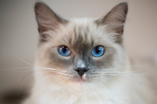 A colorpointed cat with blue eyes