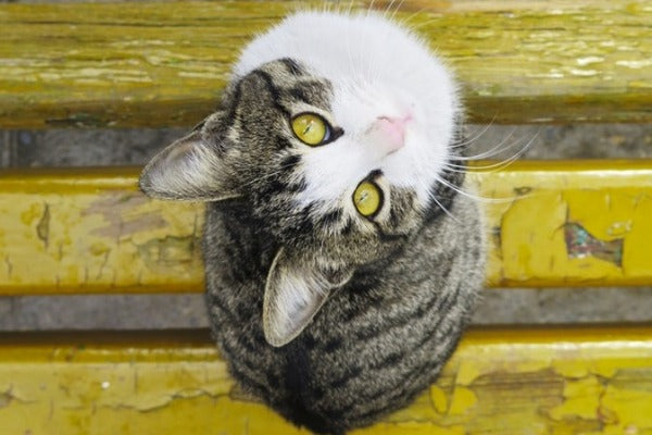 tabby and white cat with yellow eyes on a yellow bench