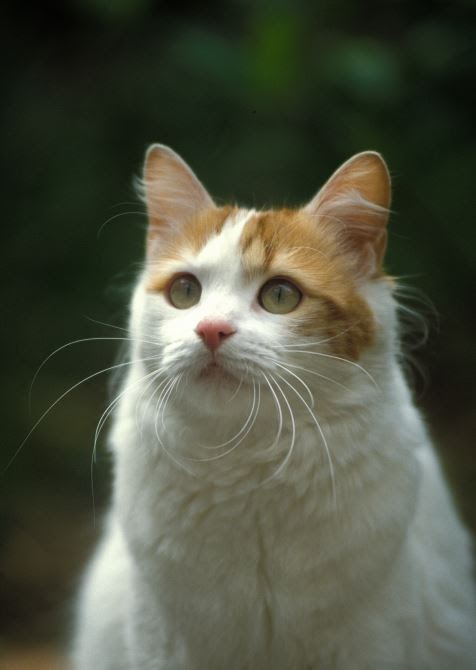 Turkish Cat looking up at the sky