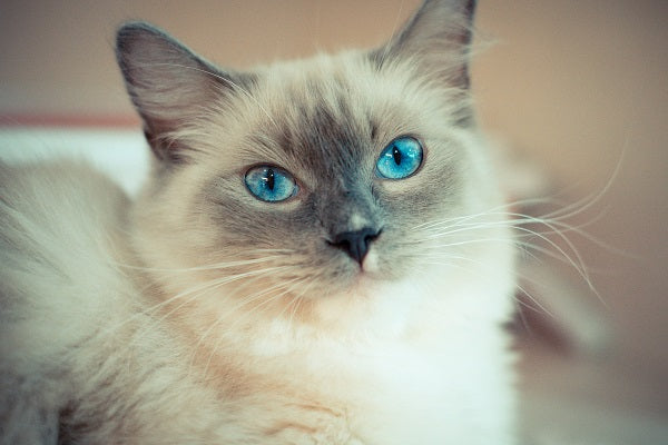 Cute Ragdoll cat with sapphire baby blue eyes