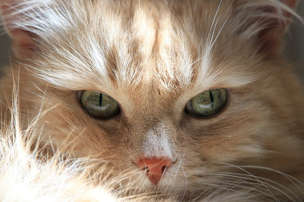 Siberian forest cat buff tabby with green eyes
