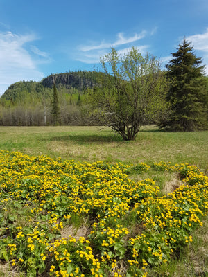 View of the mountains and marsh marigolds