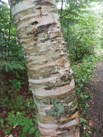Neutral shades on trunk of a Birch tree