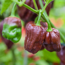 Load image into Gallery viewer, Chocolate Habanero Seeds