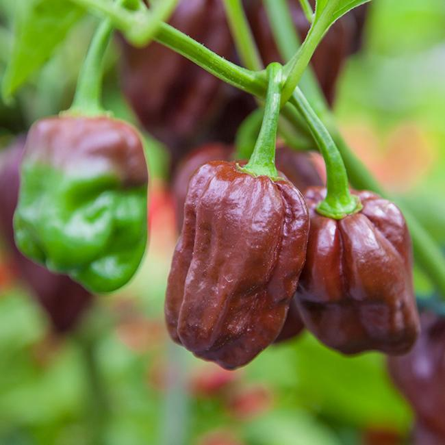 Chocolate Habanero Seeds