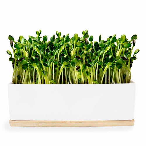Mini Garden Sprouts Kit - Sunflower