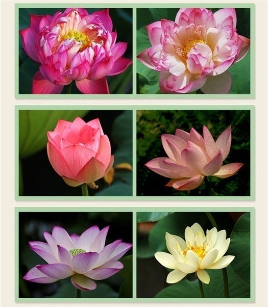 10pcs/pack Bowl Lotus Seed Hydroponic Plants Aquatic Plants Flower Seeds Pot Water Lily Seeds Bonsai Garden LYJ