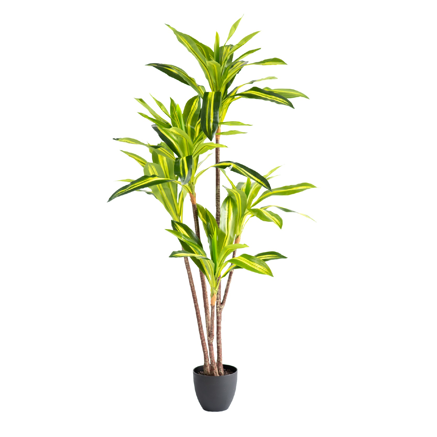 Dracaena Variegated 160cm freeshipping - Beautiful Spaces Store