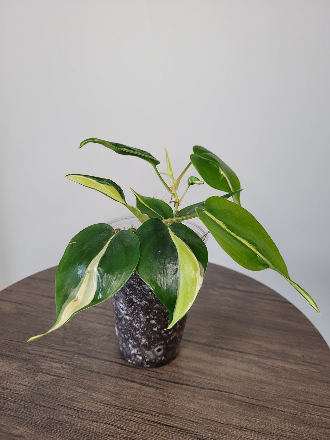 Philodendron Cream Splash