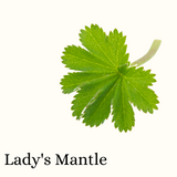 Lady's Mantle (Herb)