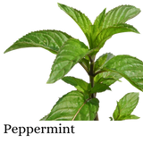 Peppermint (Herb)