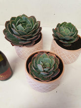 Load image into Gallery viewer, Terracotta pot Succulents