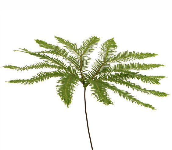Umbrella Fern