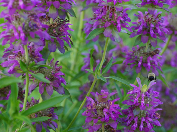 Bee Balm Lemon (100 seeds)