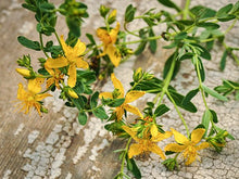 Load image into Gallery viewer, Saint John's Wort (200 seeds)