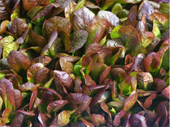 Red Romaine Lettuce (250 seeds)