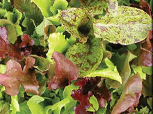Load image into Gallery viewer, Rocky Top Lettuce Mix Salad Blend (1000 seeds)