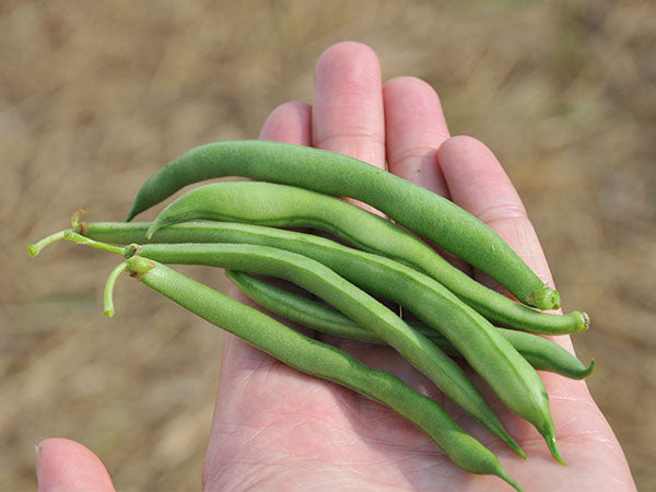 Blue Lake Bush 274 Bean (40-60 seeds)