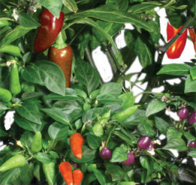 AeroGarden Chili Pepper Variety Seed Pod Kit