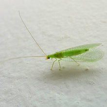 Load image into Gallery viewer, Green Lacewing Mail Back, 1,000 Eggs