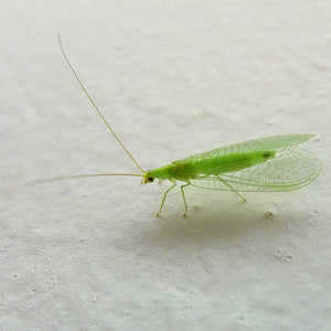 Green Lacewing Mail Back, 1,000 Eggs