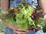 Rocky Top Lettuce Mix Salad Blend (1000 seeds)